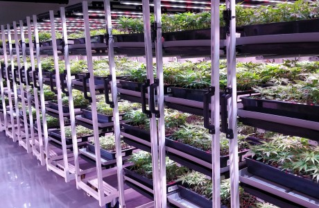 Clone room in a Cannabis growing facility